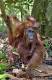 Macierzysty orangutan i lisiątko w naturalnym siedlisku Bornean orangutan Pongo pygmaeus wurmbii w dzikiej naturze Obrazy Royalty Free