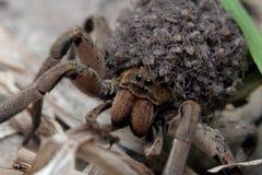 Macierzysty pająk który niesie pająków dzieci w jej ciele zdjęcia royalty free