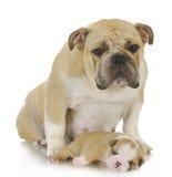 Macierzysty pies i szczeniak Zdjęcie Stock