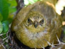 Macierzysty ptak ogląda fotografa obrazy stock