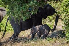 Macierzysty słoń ciągnie z powrotem dziecka ogonem fotografia royalty free