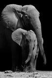 Macierzysty słoń i dziecko Obraz Stock