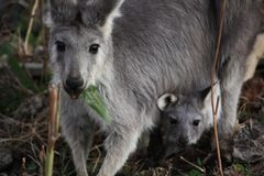 Macierzysty Wallaby z it&-x27; s dziecko Joey obraz royalty free