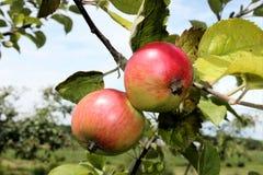 Macintoshäpplen på träd Royaltyfri Fotografi