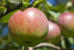 Macintosh Apple Orchard Stock Photo
