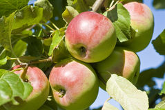 Macintosh Apple Orchard Royalty Free Stock Photos