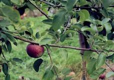 Macintosh apple on the tree Royalty Free Stock Photos
