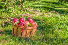 MacIntosh Apples Royalty Free Stock Photo