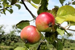 Macintosh jabłka na drzewie fotografia royalty free
