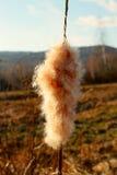 Macis de Reed Fotografía de archivo libre de regalías
