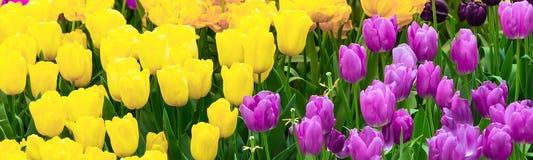 Macizo de flores amarillo y púrpura del flor de los tulipanes Fotografía de archivo libre de regalías