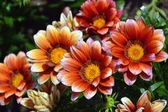 Macizo de flores colorido de la margarita imágenes de archivo libres de regalías
