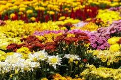Macizo de flores colorido del crisantemo Imagen de archivo