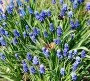 Macizo de flores con el armenio del Muscari (lat Armeniacum del Muscari) Imagen de archivo libre de regalías