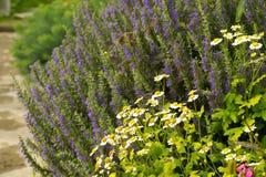 Macizo de flores con la manzanilla y la campanilla Fotos de archivo