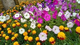 Macizo de flores con la maravilla y la petunia flowers_2 Imagen de archivo libre de regalías