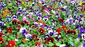 Macizo de flores con la viola de muchos pensamientos tricolora almacen de metraje de vídeo
