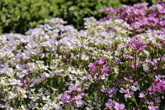 Macizo de flores con las flores blancas y rosadas Imagenes de archivo