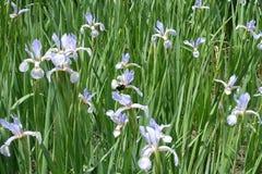Macizo de flores con las flores de la lila de los iris de la mariposa Imagen de archivo libre de regalías