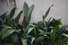 macizo de flores con las plantas del elatior de la aspidistra fotografía de archivo libre de regalías