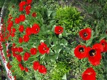 Macizo de flores con los tulipanes rojos Imagen de archivo libre de regalías