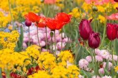 Macizo de flores con los tulipanes y las flores de la amapola Fotografía de archivo libre de regalías