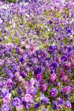 Macizo de flores de asteres Imágenes de archivo libres de regalías
