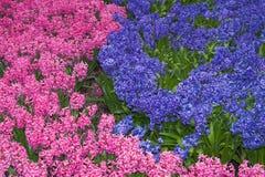 Macizo de flores de los jacintos rosados y de la lila imágenes de archivo libres de regalías