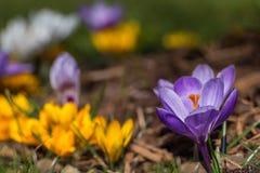 Macizo de flores del azafrán Fotografía de archivo libre de regalías
