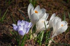 Macizo de flores del azafrán Fotografía de archivo