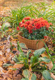 Macizo de flores del otoño con los crisantemos y el hosta Fotos de archivo libres de regalías