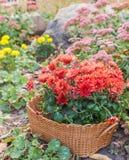 Macizo de flores del otoño con los crisantemos, y sedum Fotos de archivo libres de regalías