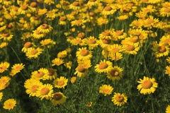 Macizo de flores de margaritas amarillas en el verano imágenes de archivo libres de regalías