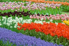 Macizo de flores por completo de los tulipanes de la belleza del color Imagenes de archivo