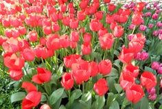 Macizo de flores rojo de los tulipanes Fotos de archivo libres de regalías