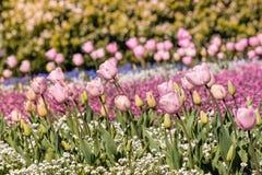 Macizo de flores rosado de los tulipanes en la floración foto de archivo libre de regalías