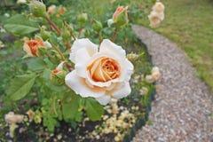 Macizo de flores de rosas en el jardín Foto de archivo libre de regalías