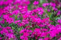Macizo de flores verde de la primavera en un jard?n cerca de un sendero con una peque?a violeta determinada y flores carmes?s Fon imagenes de archivo