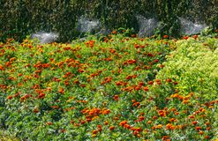 Macizo de flores y telaraña de la maravilla del verano en arbustos descuidados del boj Fotografía de archivo libre de regalías
