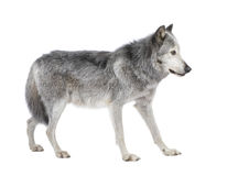 Mackenzie Valley Wolf (8 years) Stock Photos