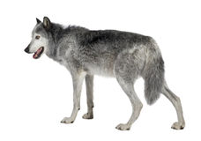 Mackenzie Valley Wolf (8 years) Royalty Free Stock Images