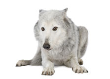 Mackenzie Valley Wolf (8 years) Stock Images