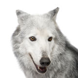 Mackenzie Valley Wolf (8 years) - Canis lupus occi Royalty Free Stock Photo