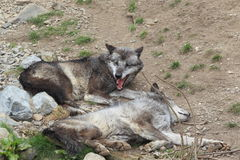 Mackenzie valley wolf Royalty Free Stock Photo