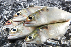 Mackeral Fish. Fresh mackeral fish with ice background Royalty Free Stock Photo