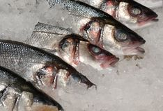 Mackeral on ice at fishmonger Royalty Free Stock Photography