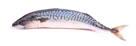 Mackerel. Single Mackerel Fish on a white background Stock Photography