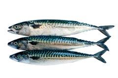 Mackerel royalty free stock photo