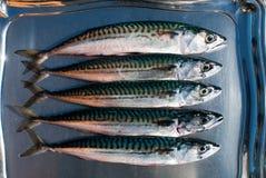 mackerel Royaltyfria Bilder