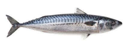 Mackerel Royalty Free Stock Photo